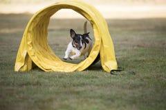 狗,杰克罗素狗,跑通过敏捷性隧道 库存照片