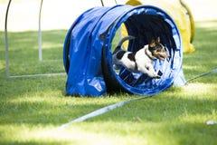 狗,杰克罗素狗,跑通过敏捷性隧道 免版税图库摄影