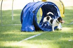 狗,杰克罗素狗,跑通过敏捷性隧道 库存图片