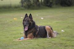 狗,比利时牧羊人特尔菲伦,在草 库存图片