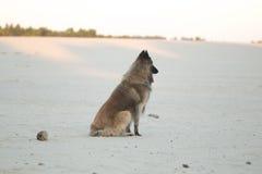 狗,比利时牧羊人特尔菲伦,坐沙子平原 库存图片
