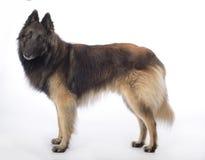 狗,比利时牧羊人特尔菲伦,站立在白色演播室backgro 免版税库存照片