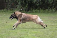 狗,比利时牧羊人特尔菲伦,跑在草 库存图片