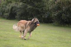 狗,比利时牧羊人特尔菲伦,跑在草 免版税库存照片