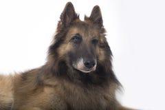 狗,比利时牧羊人特尔菲伦,闪光,白色演播室背景 库存照片