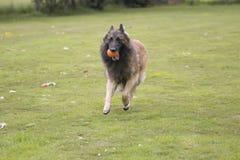 狗,比利时牧羊人特尔菲伦 免版税库存照片