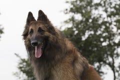 狗,比利时牧羊人看下来在照相机的特尔菲伦 免版税库存图片
