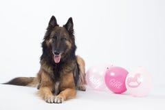 狗,比利时牧羊人,特尔菲伦,有女婴的桃红色气球的 库存照片