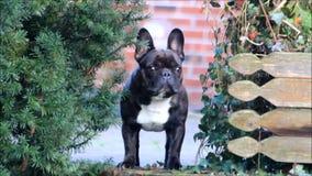 狗,法国牛头犬 股票录像