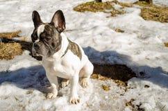 狗,法国牛头犬 图库摄影