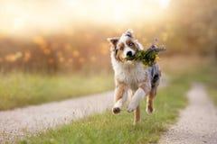 狗,澳大利亚牧羊人跳与花束 免版税库存图片