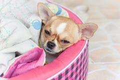 狗,病 免版税图库摄影
