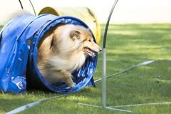 狗,苏格兰大牧羊犬,跑通过敏捷性隧道 图库摄影