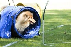 狗,苏格兰大牧羊犬,跑通过敏捷性隧道 免版税库存图片