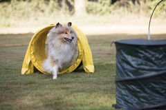狗,苏格兰大牧羊犬,连续敏捷性隧道, NADAC桶匠 免版税库存图片
