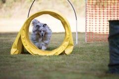 狗,设德蓝群岛牧羊犬,与敏捷性隧道 库存照片