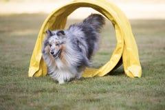 狗,设德蓝群岛牧羊犬,跑通过敏捷性隧道的Sheltie 库存图片