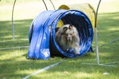 狗,设德蓝群岛牧羊犬,跑通过敏捷性隧道 免版税库存图片