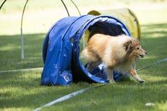 狗,设德蓝群岛牧羊犬,跑通过敏捷性隧道 免版税库存照片