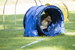 狗,设德蓝群岛牧羊犬,跑通过敏捷性隧道 免版税图库摄影