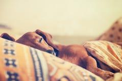 狗,达克斯猎犬,当变窄的眼睛,舒适地睡觉und 库存图片