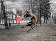 狗,飞行, fresbee 免版税图库摄影