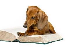 狗读了书,动物学校教育,读在白色 免版税库存图片