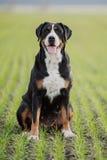狗更加了不起的山瑞士 免版税库存照片