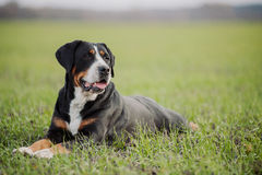 狗更加了不起的山瑞士 免版税库存图片