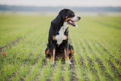 狗更加了不起的山瑞士 图库摄影