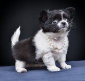 狗 品种-奇瓦瓦狗 免版税库存图片