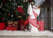 狗 圣诞节背景的年轻起重器罗素狗 免版税图库摄影