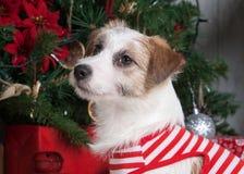 狗 圣诞节背景的年轻起重器罗素狗 免版税库存图片