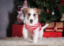 狗 圣诞节背景的年轻起重器罗素狗 库存照片