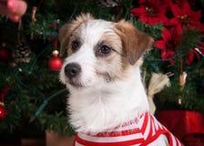 狗 圣诞节背景的年轻起重器罗素狗 图库摄影