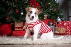 狗 圣诞节背景的年轻起重器罗素狗 库存图片