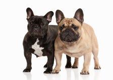 狗 在白色背景的两只法国牛头犬小狗 免版税库存照片