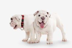 狗 在白色背景的两只英国牛头犬小狗 免版税库存图片