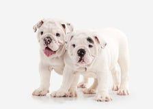 狗 在白色背景的两只英国牛头犬小狗 库存图片