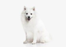 狗 在白色背景的日本白色波美丝毛狗 免版税库存照片
