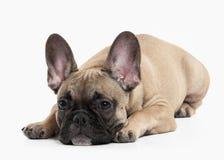 狗 在白色背景的法国牛头犬小狗 免版税库存照片