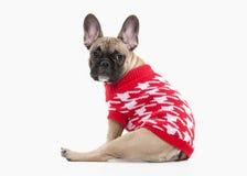 狗 在白色背景的法国牛头犬小狗 免版税图库摄影