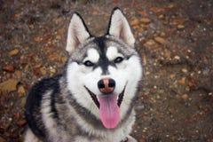 狗 多壳的西伯利亚人 西伯利亚爱斯基摩人从称赞西伯利亚的浩大的多雪的浩瀚 在神美丽的hu的静脉 免版税库存照片