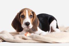 狗 小猎犬在白色背景的小狗画象 图库摄影