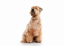 狗 小麦上漆的爱尔兰软的狗 免版税库存图片