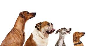 狗组本质俄国原野世界 免版税库存照片