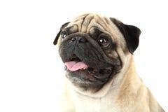狗滑稽的哈巴狗 免版税库存照片
