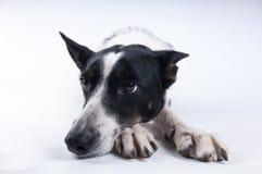 狗滑稽的特写镜头画象  库存图片