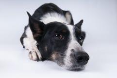 狗滑稽的特写镜头画象  库存照片