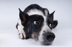 狗滑稽的特写镜头画象  免版税图库摄影